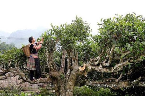 Xôi Tú Lệ, chè Suối Giàng lọt Top 100 món ăn đặc sản và đặc sản quà tặng Việt Nam