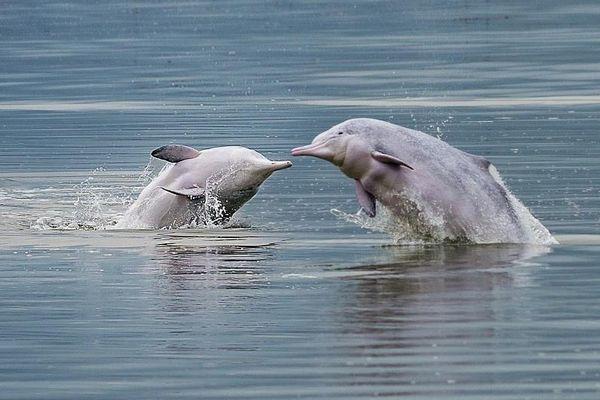 Cá heo trắng quý hiếm xuất hiện ở Trung Quốc