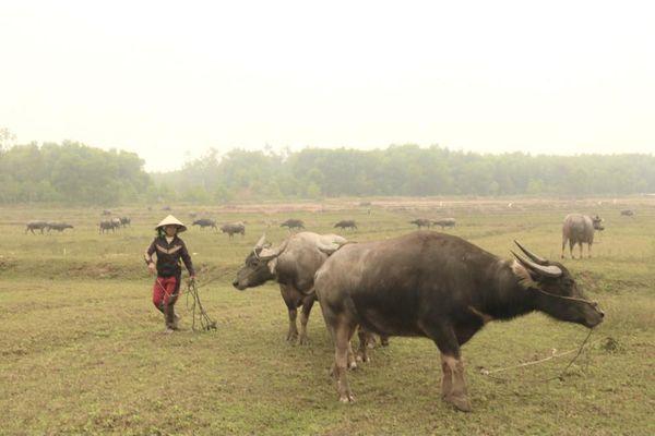 Thu hàng trăm triệu đồng mỗi năm bằng nghề vỗ béo trâu, bò