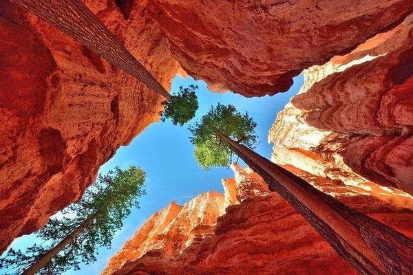 Những cây thông khổng lồ mọc lên trong hẻm núi