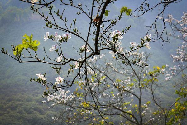 Hoa ban nở trắng núi rừng Điện Biên