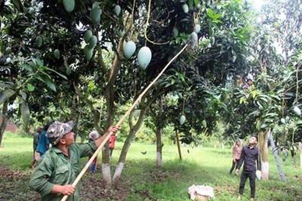 Sơn La: Phát huy thế mạnh, tiềm năng từ cây ăn quả
