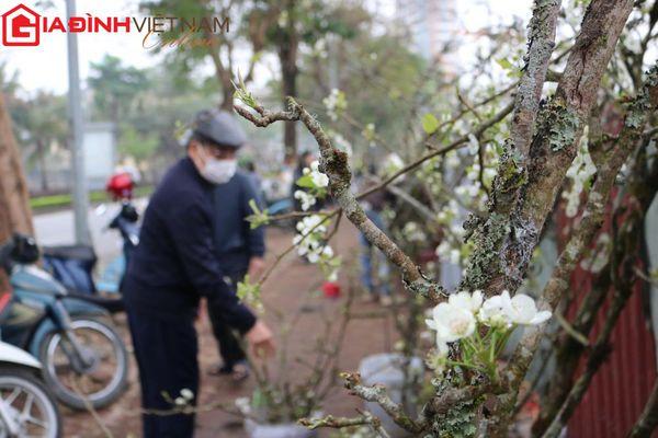 Người dân Hà Nội 'chen chân' mua hoa lê trưng nhà níu giữ sắc xuân
