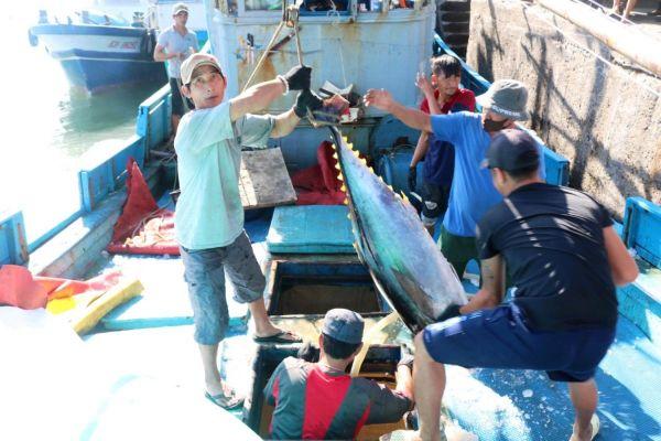 Sản lượng cá ngừ đại dương sụt giảm