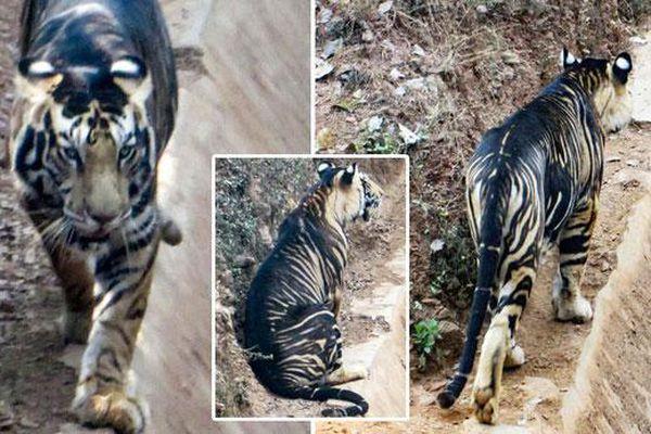 Giải mã bí ẩn 'hổ quỷ' siêu hiếm ở Ấn Độ: Cả thế giới chỉ có 8 con