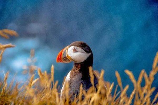 Đến Iceland làm bạn với chim biển