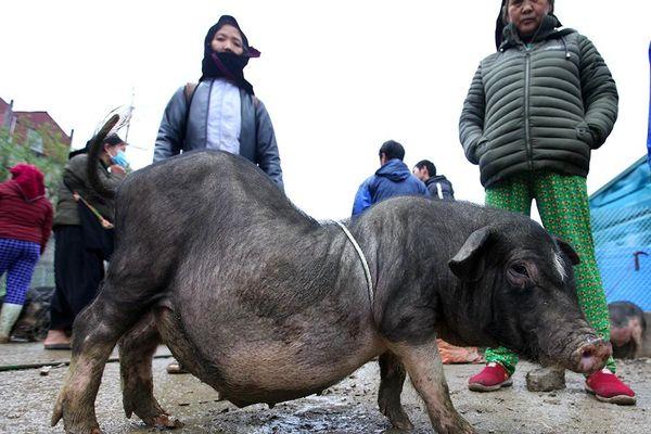 Cách chọn mua lợn 'có một không hai' ở chợ phiên Mèo Vạc