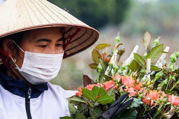 Hà Nội: Nông dân tất bật thu hoạch hoa phục vụ ngày 8/3