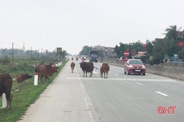 Xử phạt 14 hộ dân ở Cẩm Xuyên thả rông trâu, bò gây mất an toàn giao thông