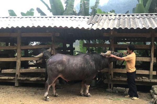Thái Nguyên: Lên vùng cao nghe chuyện nuôi trâu vỗ béo