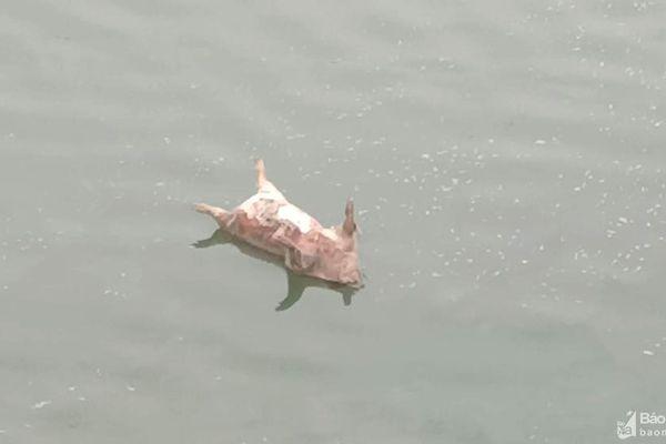 Vứt xác lợn chết ra môi trường, nguy cơ bùng dịch trên diện rộng