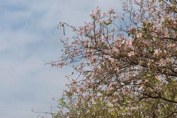 Mùa hoa sưa, hoa ban về trên phố