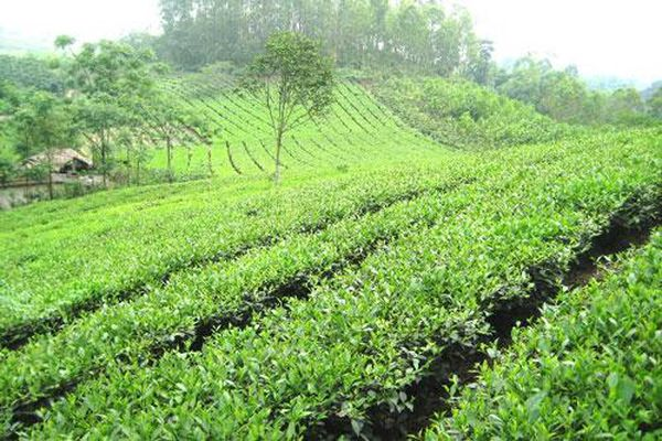 Chè Tân Cương - đặc sản nổi tiếng bậc nhất tỉnh Thái Nguyên