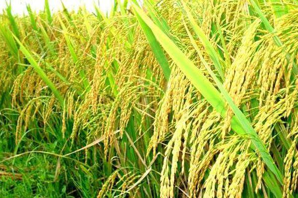 Giá lúa gạo hôm nay 28/3: Giá trong nước ổn định, giá xuất khẩu ở mức cao kỷ lục