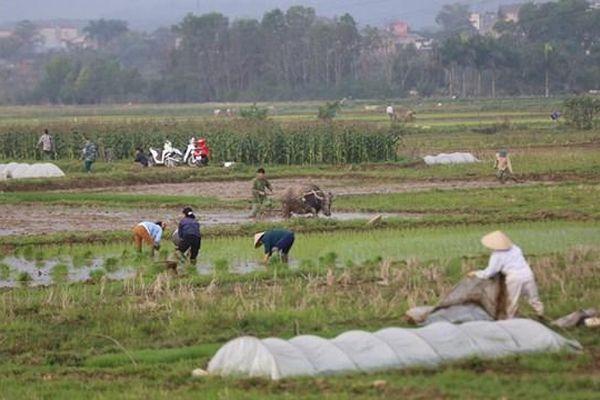 Hòa Bình: Đầu tư mở rộng diện tích lúa chất lượng cao