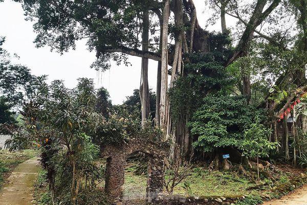 Chiêm ngưỡng cây đa Thần Rùa khổng lồ ở Hà Nội