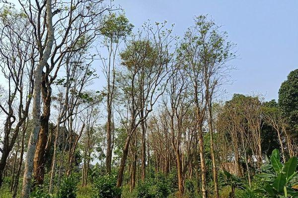 Quảng Trị: Hàng chục ha cây hồ tiêu ở vùng Cùa bị chết