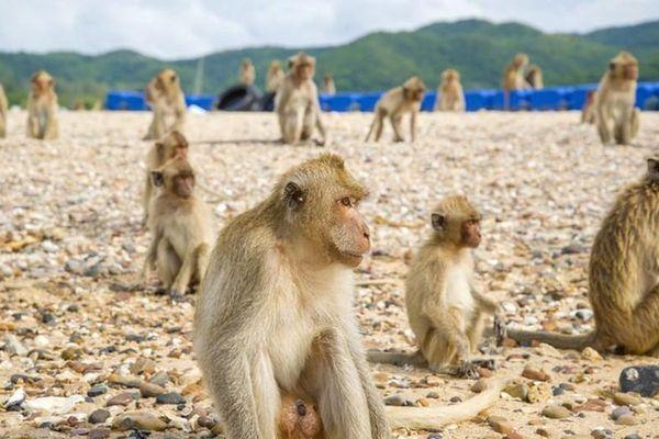 Bất ngờ lý do hòn đảo toàn khỉ cấm du khách tiếp cận