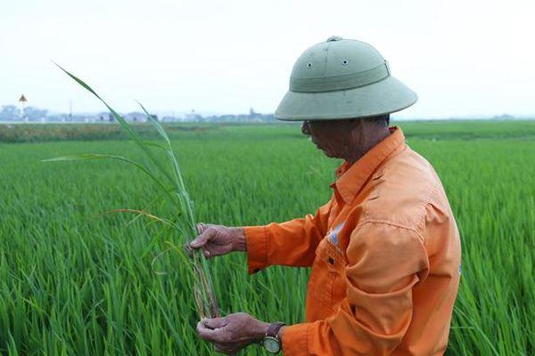 Bớt lo đạo ôn, nông dân Hà Tĩnh lại 'đau đầu' xử lý bệnh khô vằn, bạc lá trên lúa xuân
