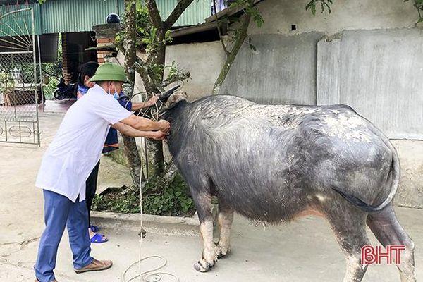 Tập trung cao cho công tác phòng ngừa, dập dịch trên đàn gia súc ở Đức Thọ