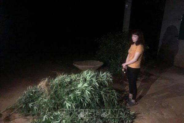 Phát hiện, nhổ bỏ gần 500 cây cần sa trồng trong rẫy người dân
