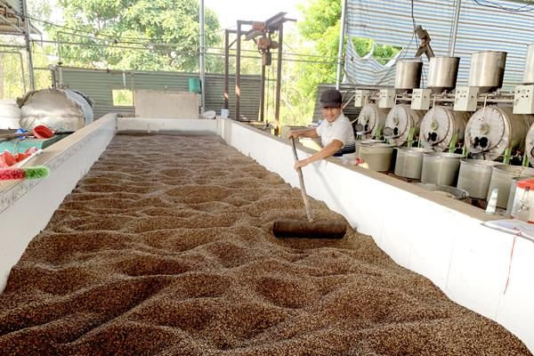 Trong quý I-2021, kim ngạch xuất khẩu cà phê và hạt tiêu giảm