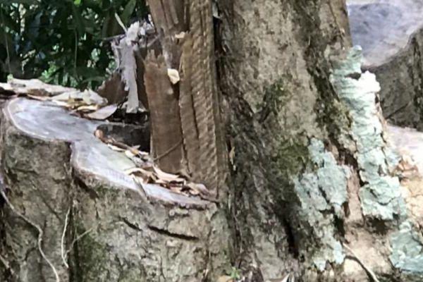 Gia Lai: Khởi tố lâm tặc cưa hạ cây gỗ Gõ cổ thụ
