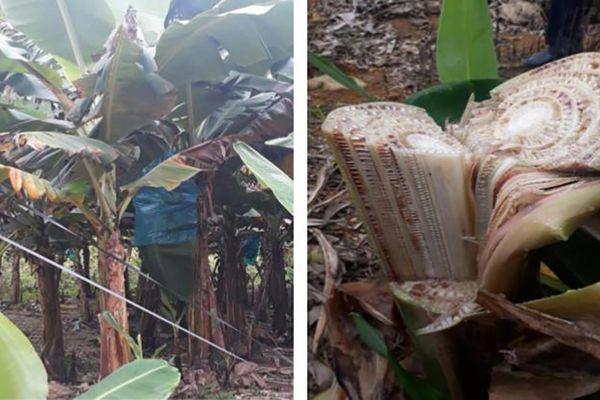 Nhiều diện tích chuối ở Lào Cai bị mắc bệnh vàng lá Panama phải chặt bỏ