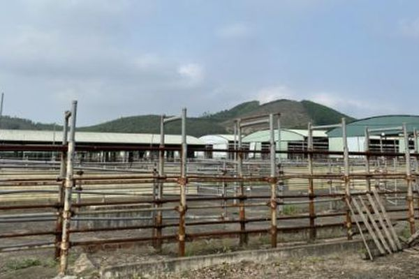 Tái cấu trúc dự án chăn nuôi bò Bình Hà: Khó hiệu quả!