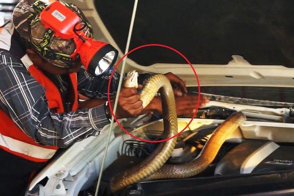 Rắn hổ mang dài 3 m trốn trong động cơ xe