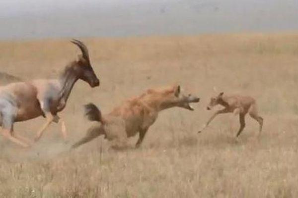 Vừa chào đời, linh dương con đã nhận cái kết thảm khốc khi chạm trán linh cẩu tinh ranh