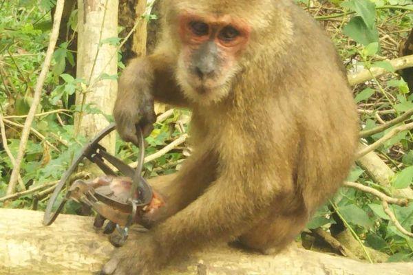 Chú khỉ đau đớn 'bỏ lại bàn chân' trên chiếc bẫy sắt