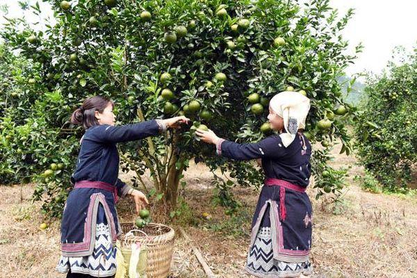 Phát triển bền vững cây ăn quả có múi ở các tỉnh phía bắc (Tiếp theo và hết) (*)