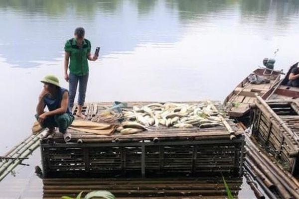 Cá chết hàng loạt trên sông Mã, 2 công ty thừa nhận xả thải