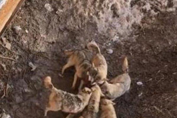 Clip: Chó cảnh tan xác trước bầy sói vì rơi vào vườn thú