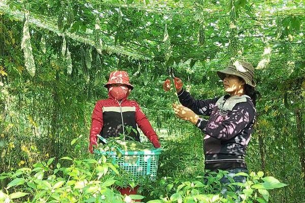 Tuyên Hóa: Mô hình trồng mướp đắng cho thu nhập cao