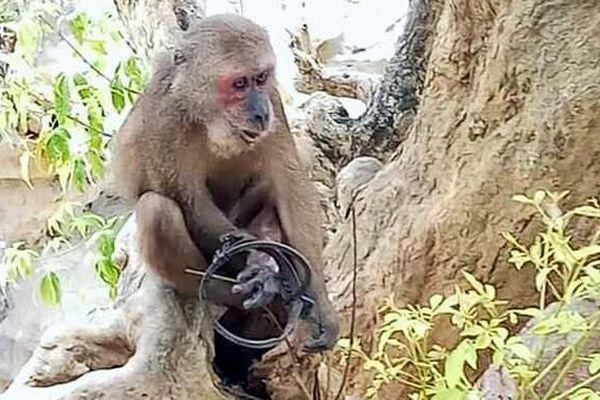 Khỉ mặt đỏ đau đớn bỏ lại bàn chân trên chiếc bẫy sắt ở Sơn Trà