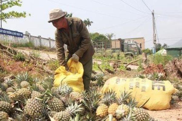 Dứa được mùa lẫn giá, người nông dân có lãi