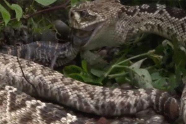 Sát thủ đáng sợ vùng nhiệt đới nuốt chửng cả đàn cá sấu