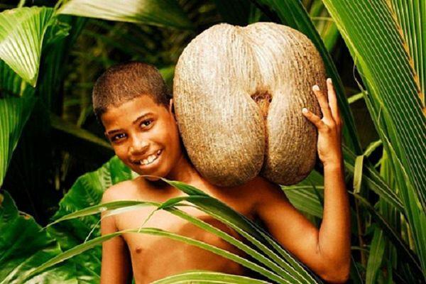 Có gì trong quả dừa quyến rũ nhất thế giới sắp tuyệt chủng?