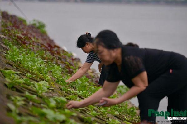 Độc đáo xem người Hà Nội trồng rau trên 'hốc đá' như người vùng cao