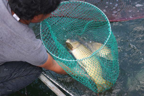 'Vỗ giòn' cá chép Định Bình mang lại hiệu quả kinh tế cao