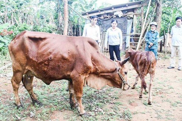 Hàng trăm trâu bò bị nhiễm bệnh viêm da nổi cục tại Quảng Trị