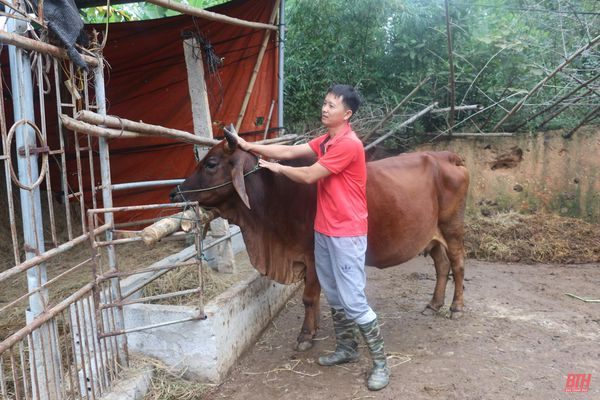 Tiêm phòng khẩn cấp vắc - xin phòng, chống bệnh Viêm da nổi cục trâu, bò trên địa bàn tỉnh