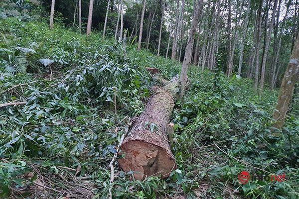 Huế: 44 cây thông lớn bị chặt phá, ngọn cây xanh tươi nằm la liệt, chủ rừng không biết