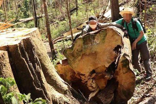 Lâm Đồng: Đình chỉ 4 trưởng ban quản lý rừng vì để 'thua' lâm tặc