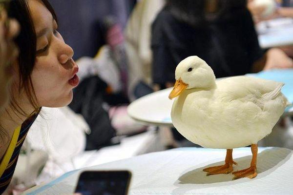 Giới trẻ Trung Quốc nuôi vịt thay thú cưng
