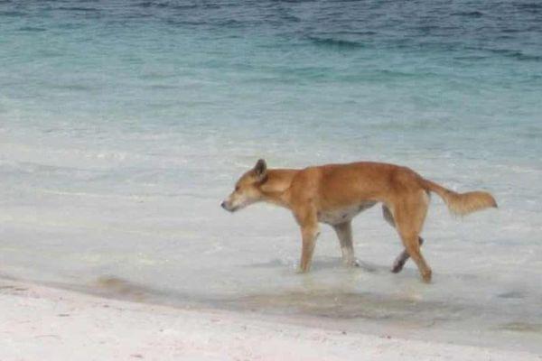 Australia tìm nhân chứng vụ bé 2 tuổi bị chó tấn công trên bờ biển