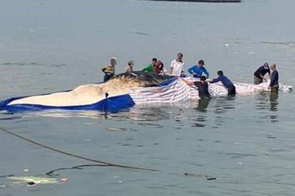 Phát hiện xác cá voi dài 15m trôi dạt trên biển
