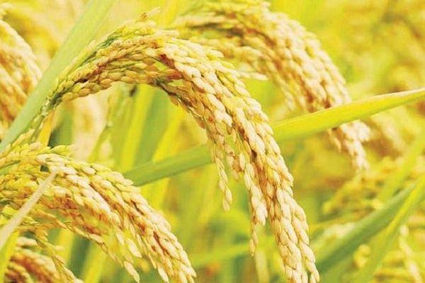 Giá lúa gạo hôm nay 19/4: Giá trong nước ổn định, giá xuất khẩu giảm về mức thấp